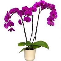 Орхидеи – тропические бабочки в вашем доме. Выбор и уход