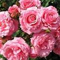 Аромат дамасских роз